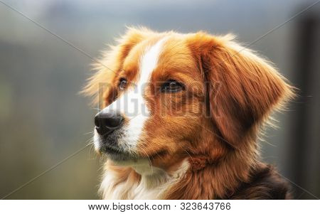 Portrait Of A Pet Dog With Brown Wool.