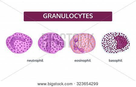 Granulocytes White Blood Cells - Medical Concept, Set.