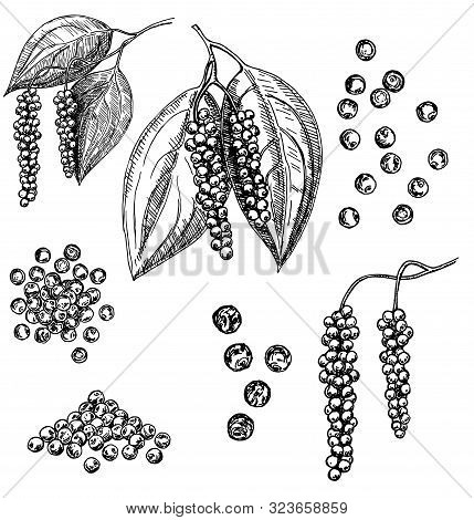 Black Pepper Vector Set. Peppercorn Heap, Dried Seed, Plant, Grounded Powder