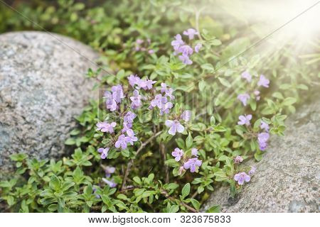 Lilac flowers of wild thyme among stones in sunny. Spice, Medicinal plant. Contains phenolic compounds - thymol, carvacrol poster