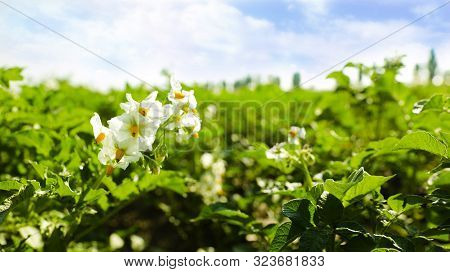 Blooming Potato Bushes In Field Against Blue Sky, Closeup