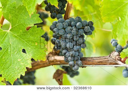 Ripe Red Wine Grapes Right Before Harvest