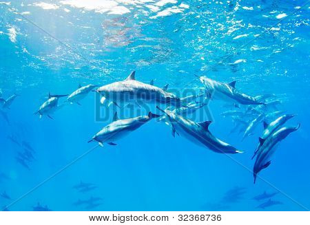dolphins swimming underwater, tropical ocean