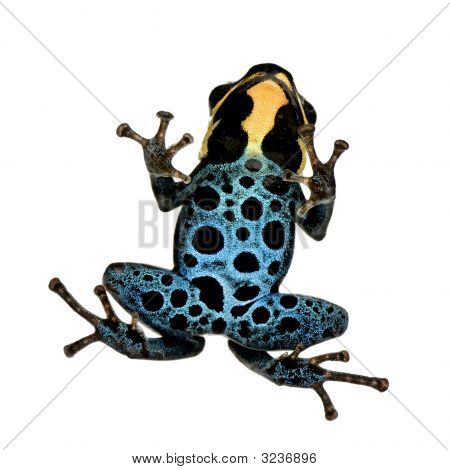 Poison Dart Frog - ranitomeya amazonica or Dendrobates amazonicus in front of a white background poster