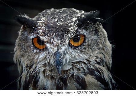 Portrait Of Eurasian Eagle Owl. Birds Of Prey In Nature.