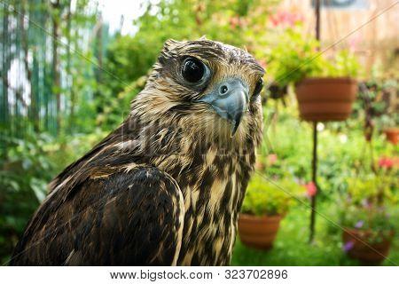 Falcon Portrait Close Up. Birds Of Prey In Nature.