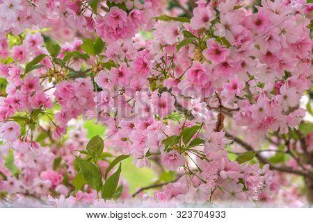 Cherry Blossom, Sakura. Photo For Interior. A Metaphor For The Ephemeral Nature Of Life