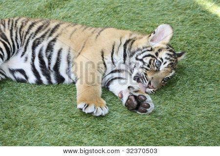 Tiger Cub- 8 Weeks Old