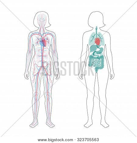 Vector Isolated Illustration Of Human Internal Organs And Circulatory System In Obese Female Body. S