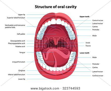 Structure Of Oral Cavity. Human Mouth Anatomy