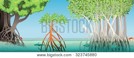 Drawing Of Three Different Types Of Mangrove With Underwater Roots Of A River With Fish, Crabs And A