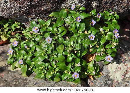 Socotran Violet (Exacum affine)  endemic of Socotra Island