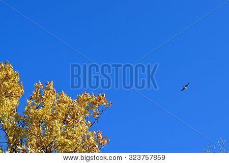 Fraxinus Excelsior And Tea Against The Blue Sky. Autumn Landscape.