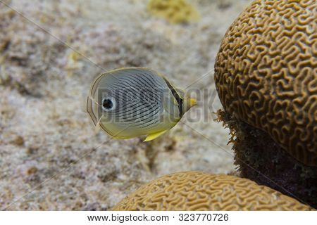 Foureye Butterflyfish On Coral Reef Off Bonaire, Dutch Caribbean