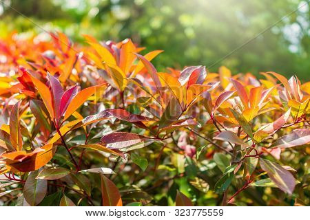 Branches Of Bushes With Young Green And Red Leaves. Background Image.