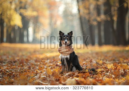 The Dog On Yellow Leaves. Border Collie In The Park. Autumn Mood, Fall