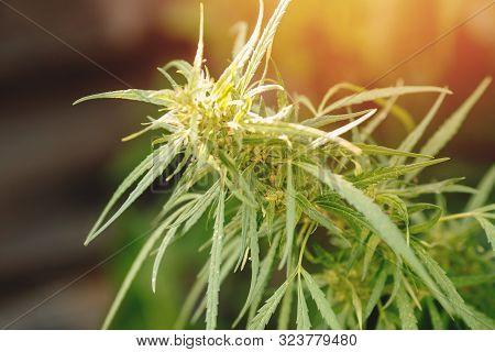 Bush Marijuana Cannabis On Blurred Background At Sunset