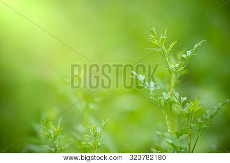 Coriandrum Spp On Green Nature Background And Morning Sunlight At Organic Farm. Closeup And Copy Spa