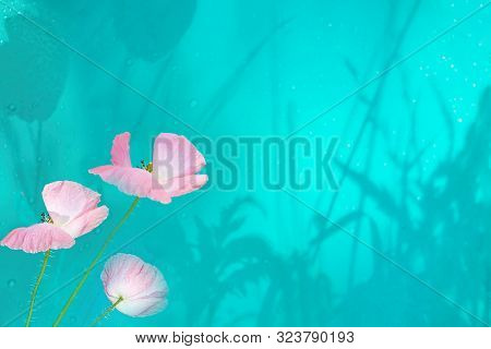 Pink Poppy On Delicate Turquoise Background With Shadows And Water Drops. Beautiful Artistic Image,