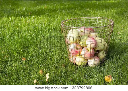 Fresh Ripe Red Yellow Apples In Metal Basket On Green Grass On Sunny Day. Autumn Fall Harvest In Nat