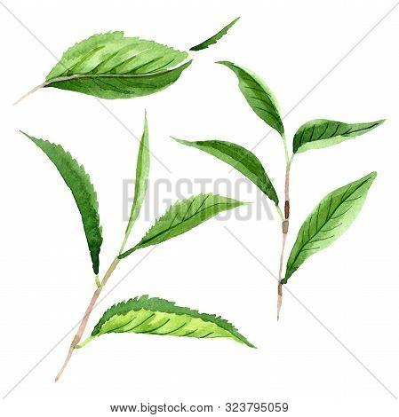 Green Tea Leaves. Watercolor Background Illustration Set. Isolated Leaf Illustration Element.