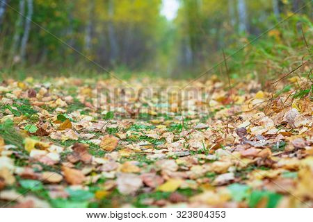 Fallen Yellow Leaves Lie On A Path In The Autumn Forest.