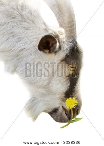 Goat With A Flower