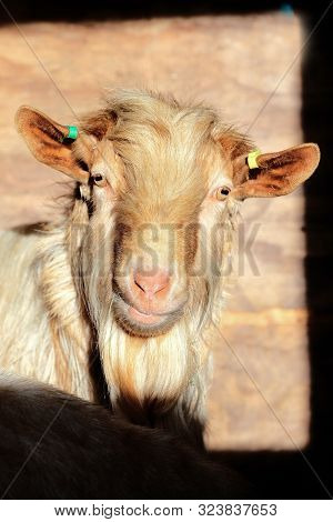 A Single Light Brown Goat Looking At Camera