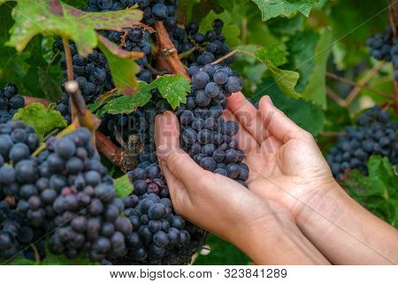 Close Up Of Hands Of A Young Woman With Freshly Delicious Ripe Dark Blue Grapes On Green Leaves Back