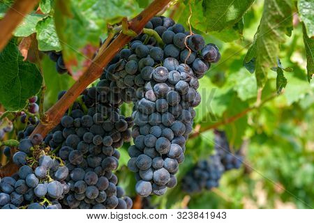 Grapevine With Berries And Grape Leaves On Sun Rays. A Beautiful Bouquet Of Ripe Blue Wine Grapes On