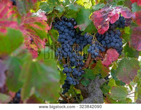 Berries And Leaves Of Grape-vine. Beautiful Bunch Of Ripe Red Wine Grapes On A Vine On Red And Green