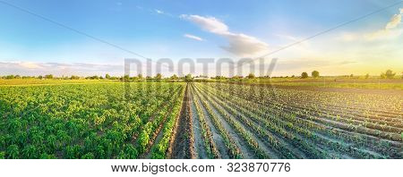 Panoramic Photo Of A Beautiful Agricultural View With Pepper And Leek Plantations. Agriculture And F