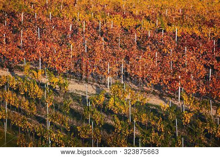 Autumn Landscape With Colorful Vineyards. Rows Of Vineyard Grape Vines. Grape Vineyards Of South Mor