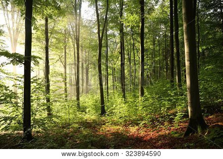 Autumn forest sunrise sunbeams forest. Nature background Nature Sun rays green deciduous forest Nature background Autumnal forest outdoors Nature foliage leaves Nature Autumn Forest mist fog Nature background fall woods sunshine Trees Nature background.
