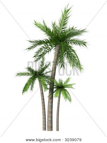three tropical palm on white background -3d rendering poster