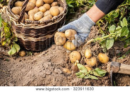 Close Up Of Hands Of Elderly Woman Picks Potatoes Yellow Potatoes In Vegetable Garden Close Up. Pota