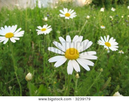 Chamomile Wildflowers On The Green Meadow
