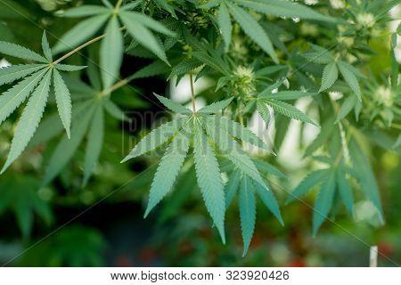 Close-up Of Green Marijuana Or Cannabis Plants