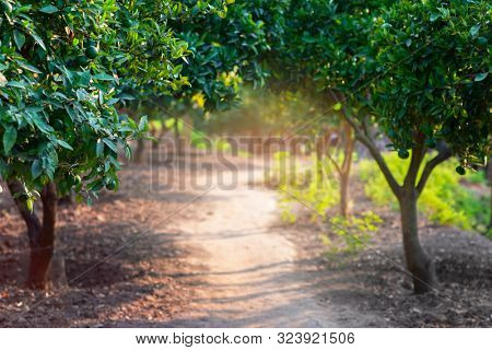 Citrus garden with trees, way and sunlight in Sicily, Italy. Mandarin tree with fruits. Branch with fresh green tangerines and leaves. Satsuma tree picture. Paradise