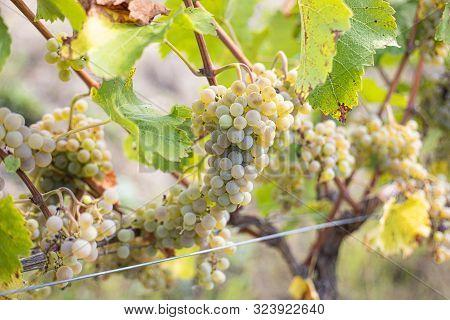 Sommer White Wine Grape On Plant Tree