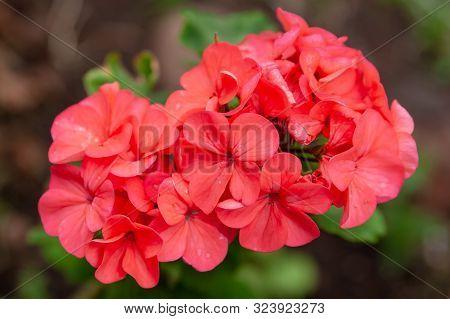 Pink Flower Of Geranium, Pelargonium, Geraniaceae Closeup On Blurred Background. Indoor Plants.