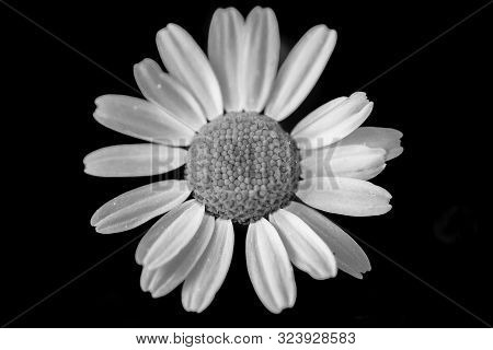 Macro Photo Of Daisy. Black And White. White Petals On A Black Background