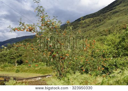 Rowan Or Mountain Ash - Sorbus Aucuparia  Tree With Berries By Loch Leven, Highand Scotland