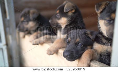 German Shepherd Puppies. Many Funny German Shepherd Puppies. Head Newborn Puppies Top View