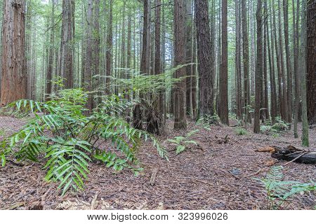 Bark Covered Forest Floor And Undergrowth Of Fern Amongst Tall Sequoia Trees In Whakarewarewa Redwoo