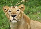 Lioness in the jungle close frontal view poster