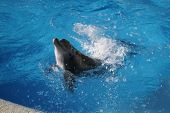 a Dolphin splashing around in the water poster