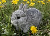 Gray rabbit bunny baby and dandelions poster
