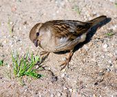 a sparrow on dirt looks up at photographer taking interest what he is doing there poster