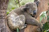 A Koala Bear at a nature reserve near Sydney Australia. poster